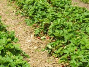 ripe-organic-strawberries-2-1392511-m