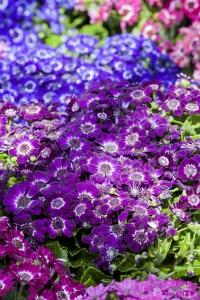 cineraria-spring-flower-garden-1441572-m