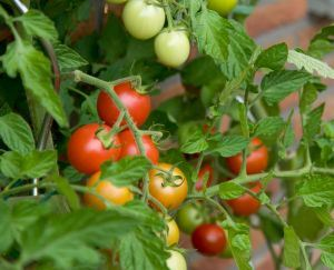 tomatoes-on-a-bush-1213502-m