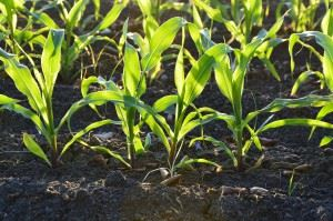 corn-1841271_1280