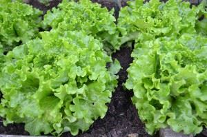 green-salad-1533956_1280