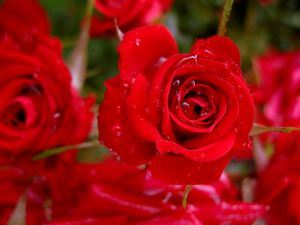 rose-with-some-drops-825563-m